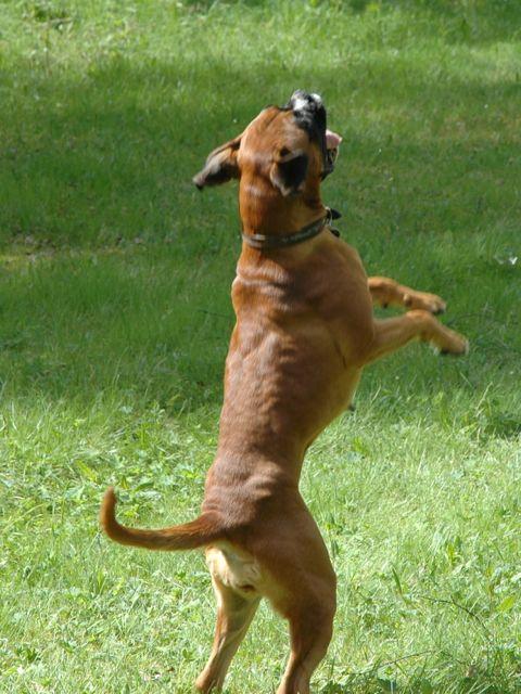 boxer valper til salgs i østfold