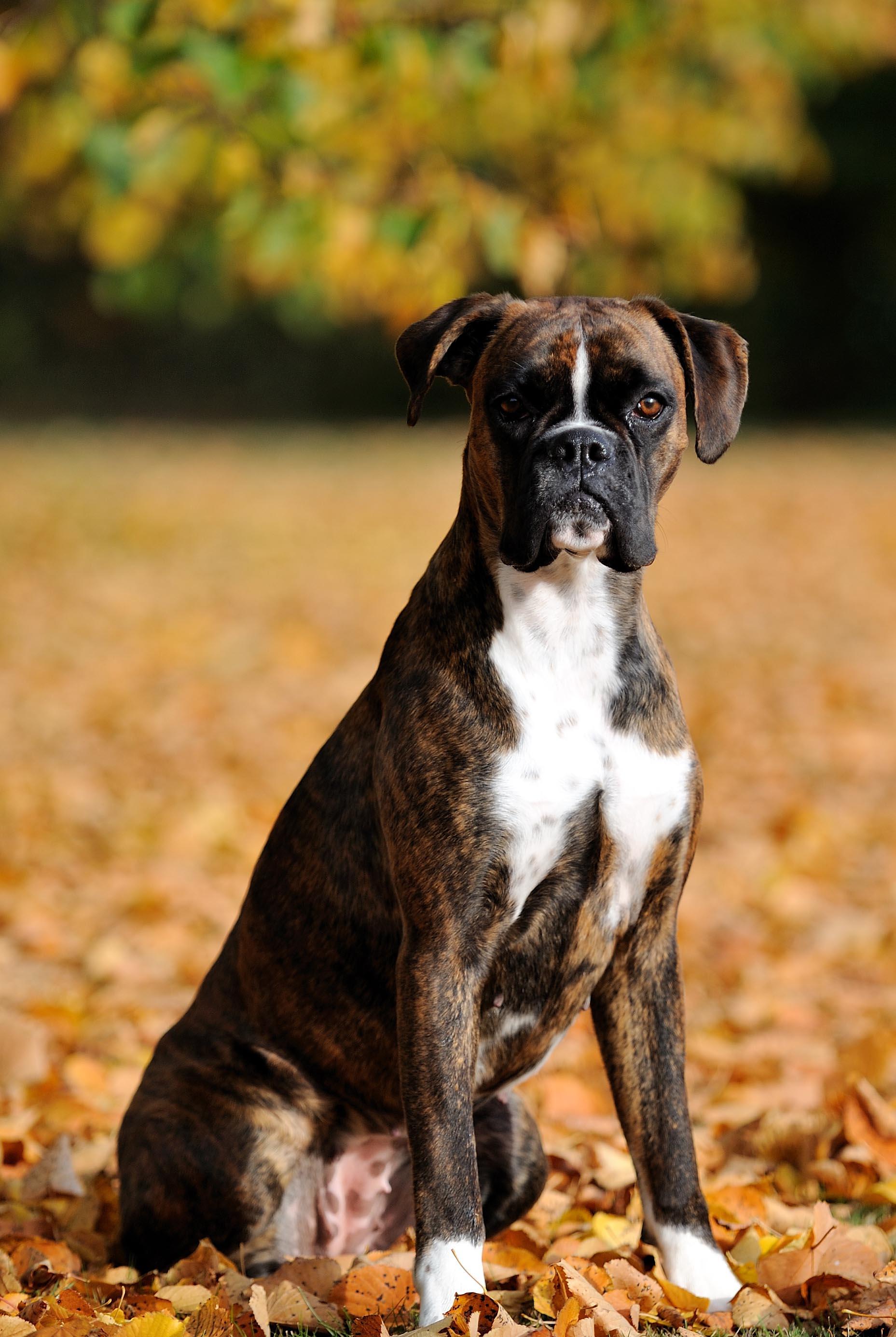boxer hund til salgs