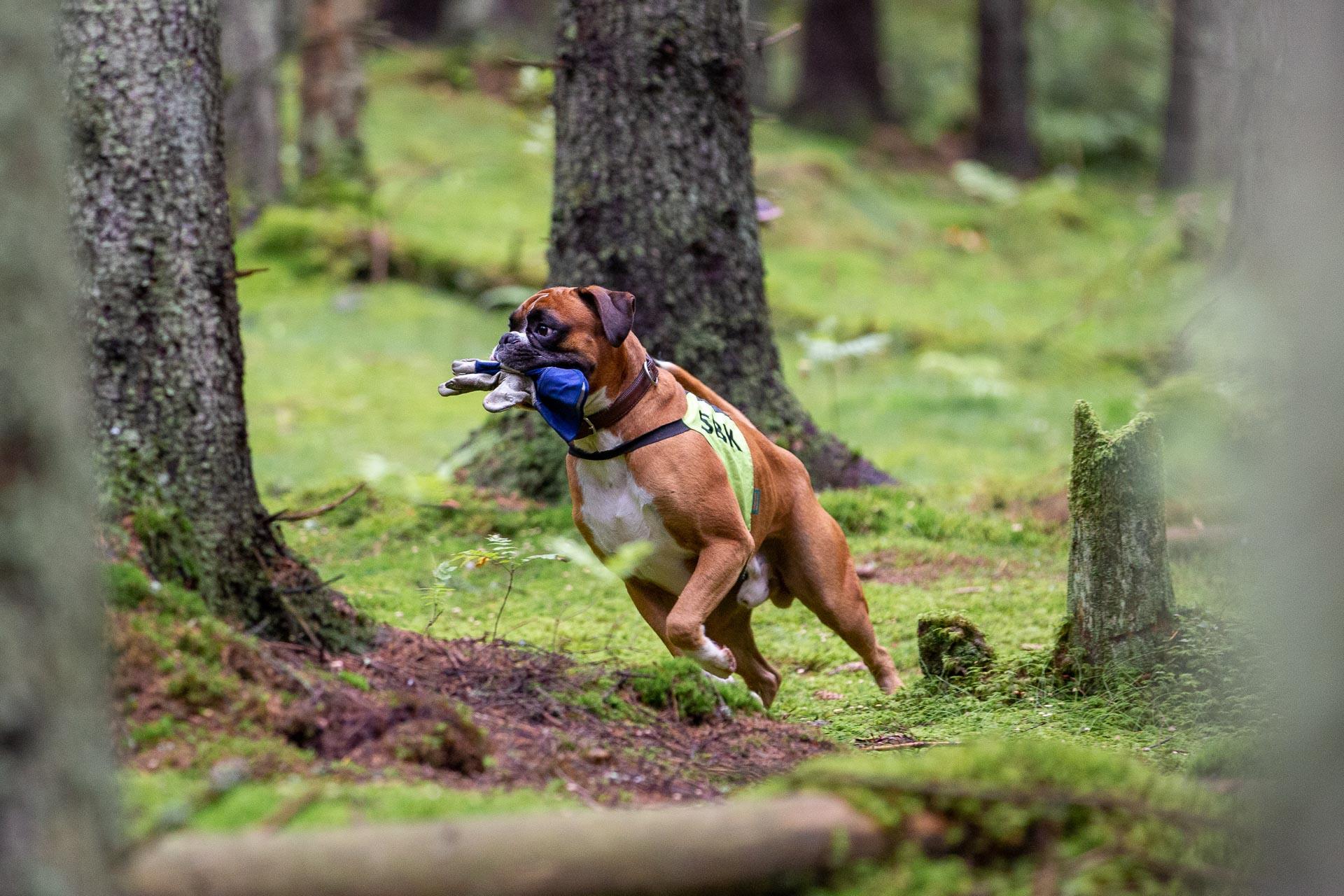 Boxer på feltsøk, en av bruksøvelsene rasen egner seg godt til