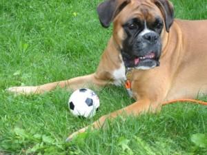 Boxer med ball