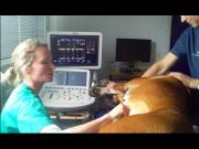 Norsk Boxerklubb sponser deler av hjerteundersøkelse med doppler ultralyd