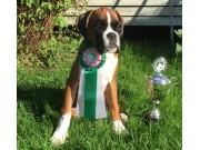 Horten 29.08.2015 Norsk Boxerklubb kontaktområde Vestfold - BIM valp