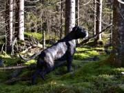 Ulefoss 19.11.2015 - Telemark Harehundklubb - Blodsporprøve 1. premie
