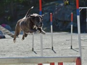 Kløfta 06.11.2016 - Stovner Hundklubb - Agility klasse 2
