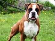 Leangen 02.07.2016 - Norsk Kennel Klub - CACIB, BIR, Norsk Utstillingschampion