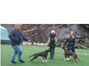 Bergen 23.04.2017 - Norsk Boxerklubb Hordaland - BIR og BIM
