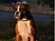 Drammen Hundepark 08.04.2018 - Boxerknock Dressed To Kill - Rallylydighet klasse 1