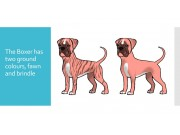 Colour genetics of the Boxer