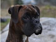 Hagfors  Sverige 03.09.2017 - Hagfors Brukshundklubb - Mentalbeskrivelse MH
