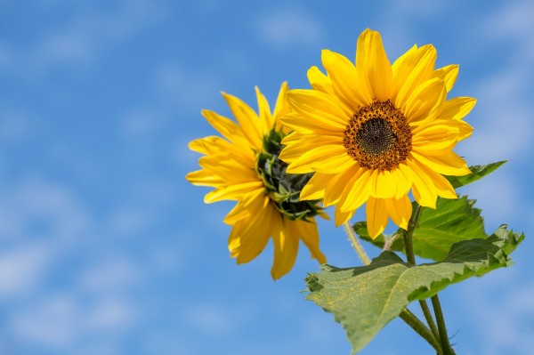 sunflower-4298808_1280