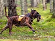 Magnor 26.06.2017 - 24.06.2019 - Von Ellinghaus Juno - Norsk Boxerklubbs Dressurplakett
