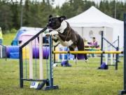 Lillehammer 15.08.2020 - Boxerhaven's Linnea - Agility Hopp 1L - Very Good