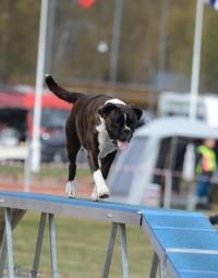 Boxerhaven's Linnea AG hopp 3pl bom