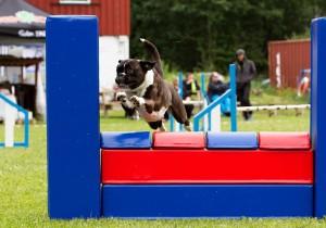 Boxerhaven's Linnea AG hopp 3pl VG